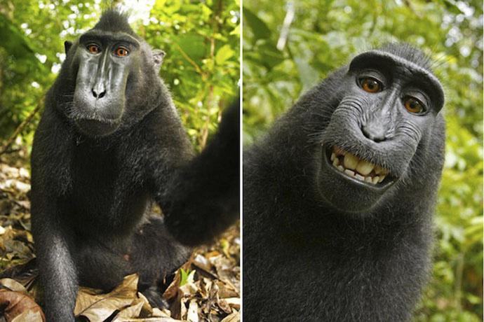 Самое знаменитое обезьянье селфи