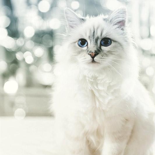 Кошка Карла Лагерфельда Шупетт заработала в прошлом году €3 млн.