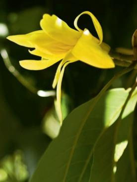 Чтобы получить 1 кг драгоценного экстракта, требуется 960 кг живых цветов