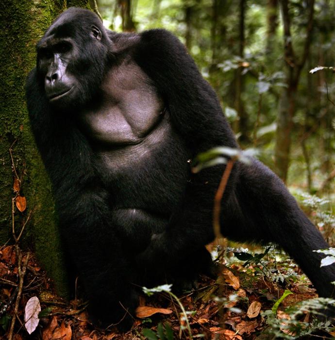Уганда: наблюдение за гориллами
